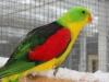 1-0-gele-roodvleugel